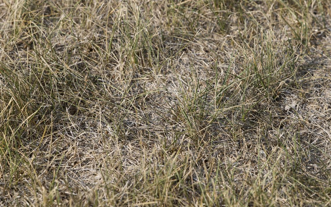 To keep dormant grass crowns and roots alive, some moisture is needed every three to four weeks. Michael Vosburg / Forum Photo Editor