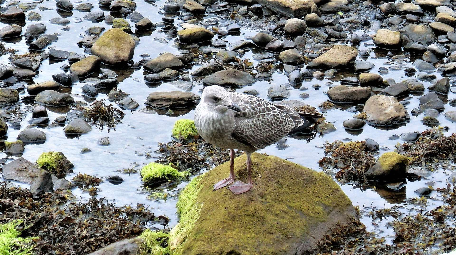 A young gull with Wick River at a very low level. Picture: DGS