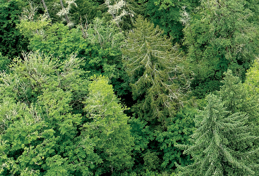 A drone image of the canopy of a forest with coniferous and deciduous trees.