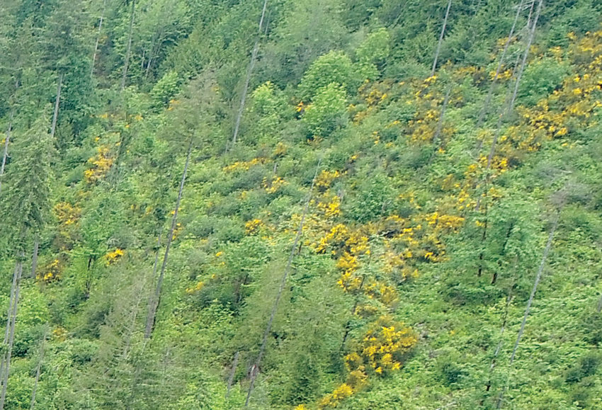 A drone image of a forest with several large patches of yellow scotch broom, an invasive weed.